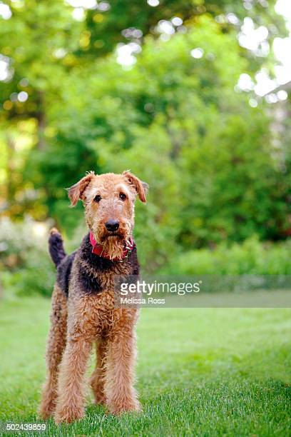 Airedale Terrier dog standing in the grass