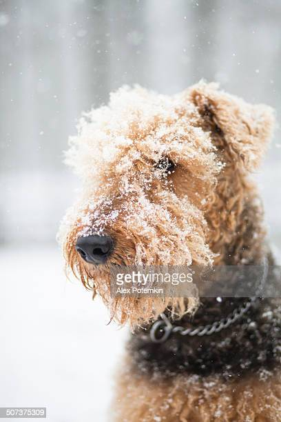 Airedale terrier dog under snowfall
