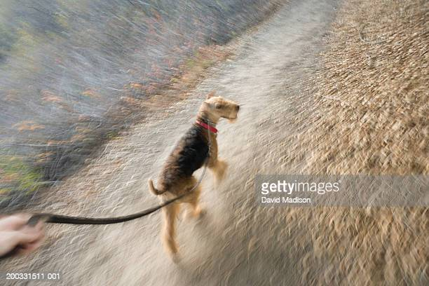 Airedale Terrier dog walking on leash (blurred motion), elevated view