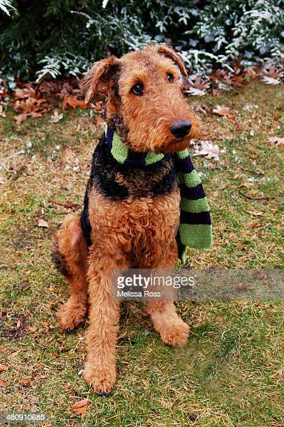 Airedale Terrier dog wearing a scarf.