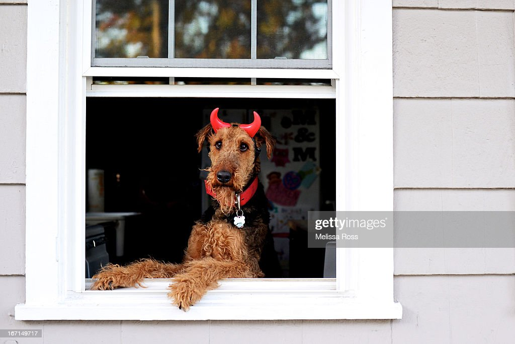 Airedale Terrier dog wearing devil horns : Stock Photo