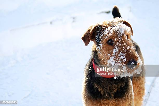 Airedale Terrier dog with his face covered in snow