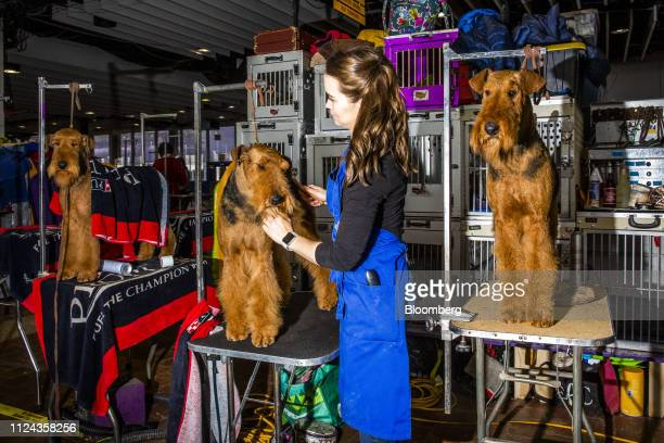Airedale terrier dogs are groomed at the 143rd Westminster Kennel Club Dog Show in New York US on Tuesday Feb 12 2019 The Westminster Kennel Club Dog...