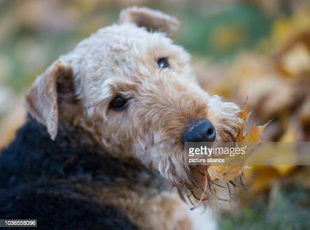 Airedale Terrier Fredda holds coloured leaves with his mouth on a meadow in Sieversdorf Germany 19 October 2013 Photo Patrick Pleul/ZB | usage...