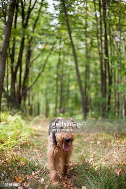 Airedale terrier in forest