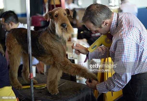 A Airedale Terrier in the benching area in the benching area at Pier 92 and 94 in New York City on the second day of competition at the 138th Annual...