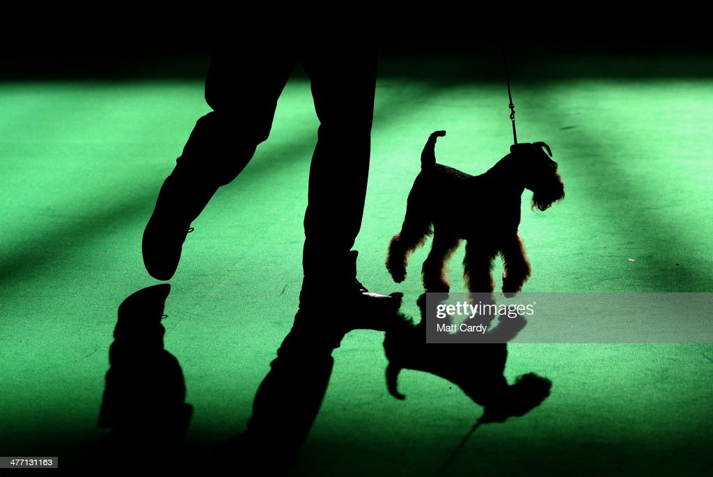 A Airedale Terrier is shown in one of the judging rings on the second day of the Crufts dog show at the NEC on March 7, 2014 in Birmingham, England. Said to be the largest show of its kind in the world, the annual four-day event, features thousands of dogs, with competitors travelling from countries across the globe to take part. Crufts, which was first held in 1891 and sees thousands of dogs vie for the coveted title of 'Best in Show'.