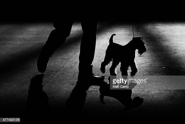 A Airedale Terrier is shown in one of the judging rings on the second day of the Crufts dog show at the NEC on March 7 2014 in Birmingham England...