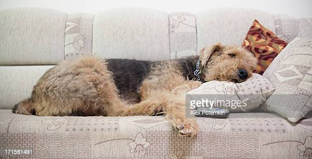 Airedale terrier lying down at sofa