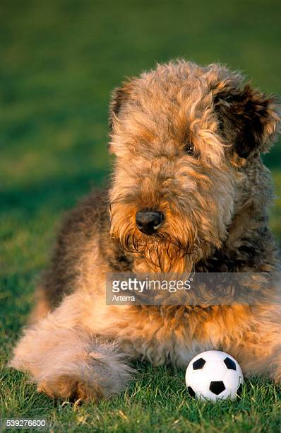 Airedale Terrier lying next to a ball in garden