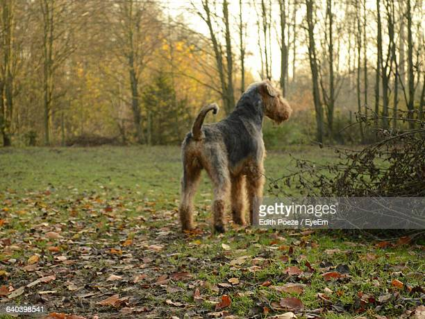 Airedale Terrier On Grassy Field