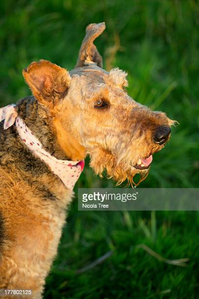 Airedale Terrier, out in a landscape.
