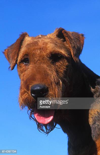 Airedale terrier portrait mouth open