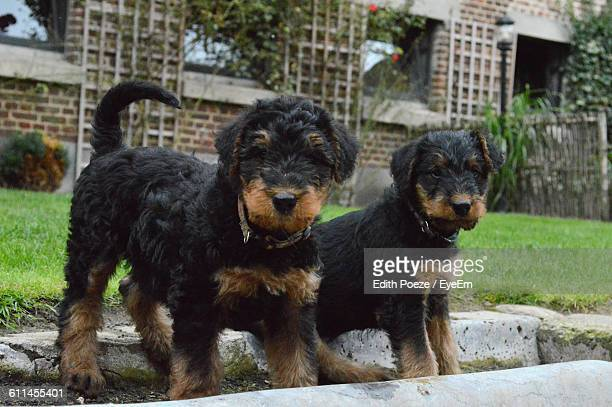Airedale Terrier Puppies On Grassy Field