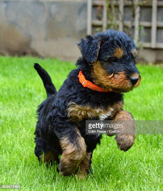 Airedale Terrier Puppy Running In Back Yard