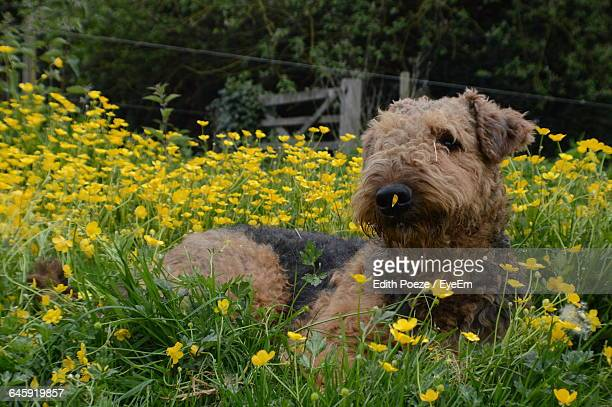Airedale Terrier Sitting Amidst Flowering Plants In Field
