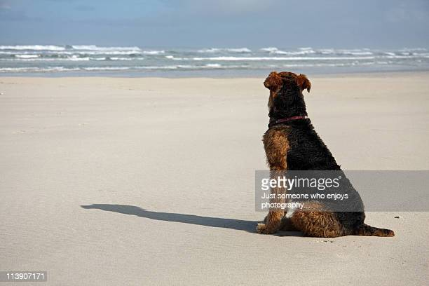 Airedale Terrier waiting by the sea