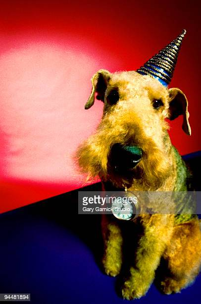 Airedale terrier wearing party hat and pocket watch