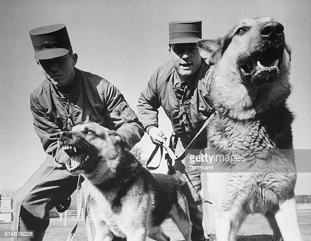 Airman First Class Carl T Young and Airman Second Class William Hughes restrain two snarling German shepherds Dusty and Lindy as they lunge forward...