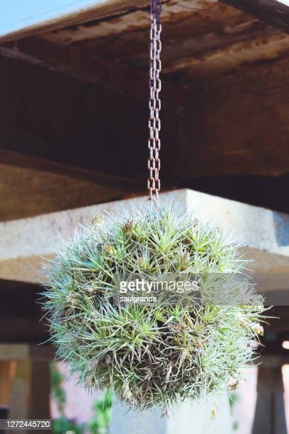 airplants hanging, tillandsia - bromeliaceae stock pictures, royalty-free photos & images