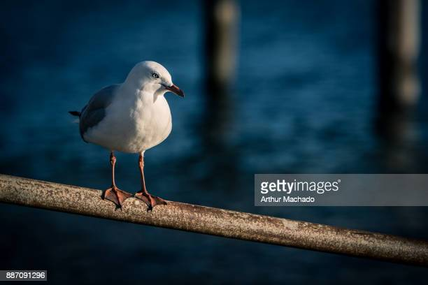Akaroa seagull