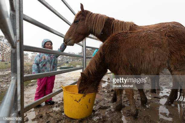 Akayah Walker helps feed newly arrived Brumbies at the White Alpine Equine horse farm in Adaminaby on August 23 2020 in Adaminaby Australia This...