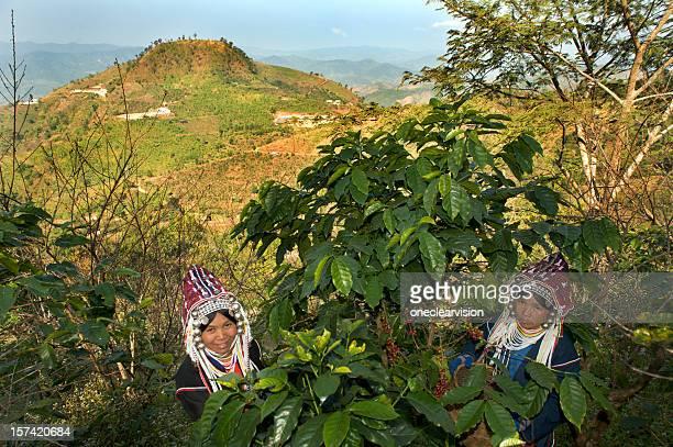 Akha Women Harvesting Coffee