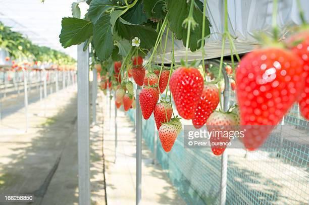 Akihime Strawberries growing
