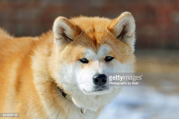 akita dog looking at the camera - animal internal organ stock photos and pictures