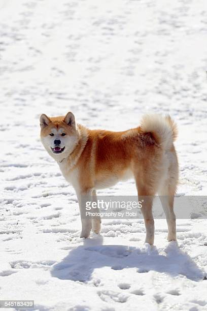 Akita dog looking at the camera standing in the sn