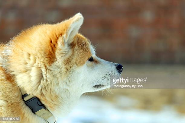 akita dog looking at the somewhere - animal internal organ stock photos and pictures