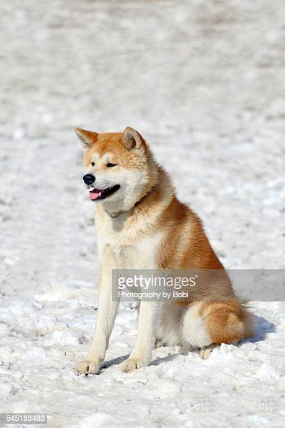 Akita dog sitting on the snow