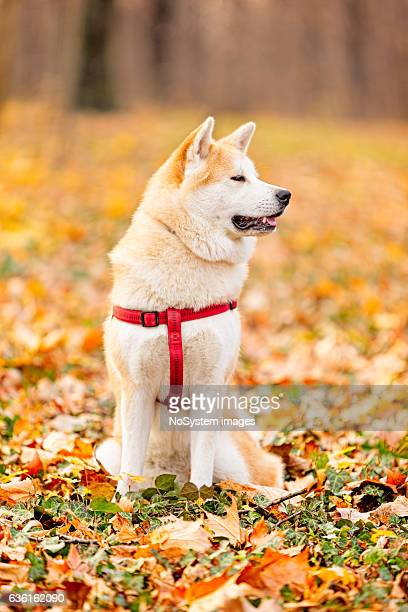 Akita inu dog in the park