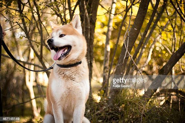 Akita inu dog on a walk in the forest