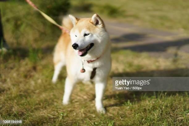 Akita Inu on walk