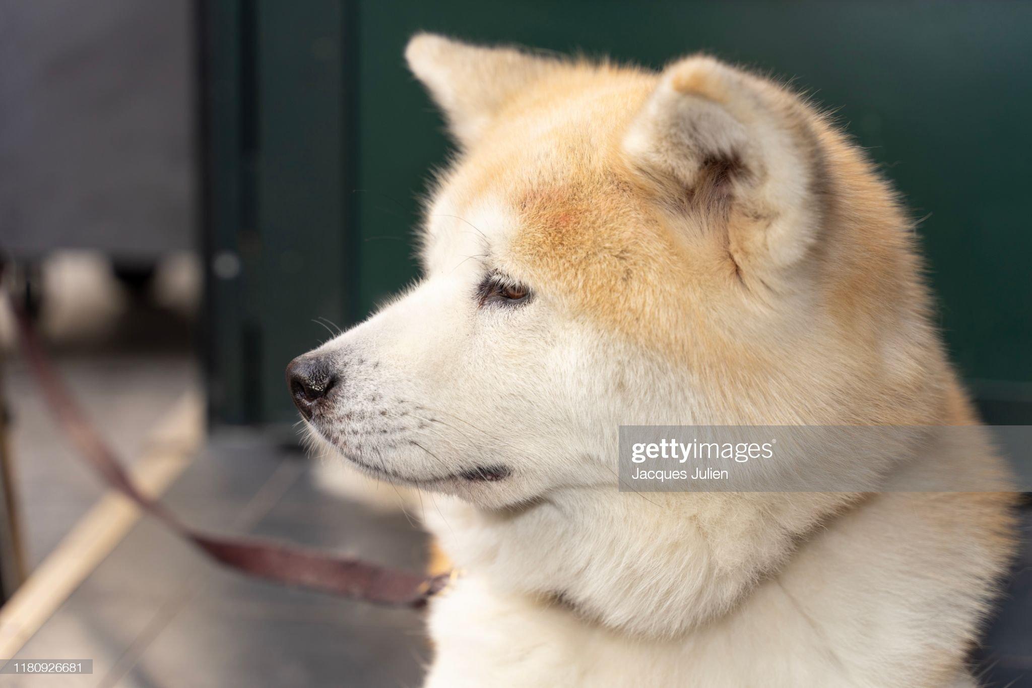 Akita ken dog portrait : Photo
