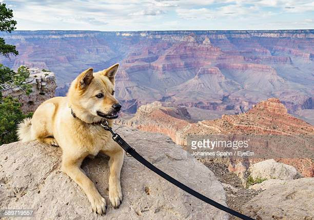 Akita Lying Down On Rock In Grand Canyon National Park