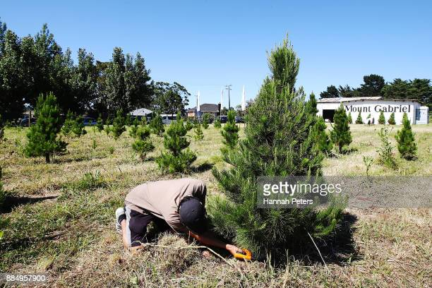 60 Top Christmas Trees Go On Sale Pictures Photos Images Getty