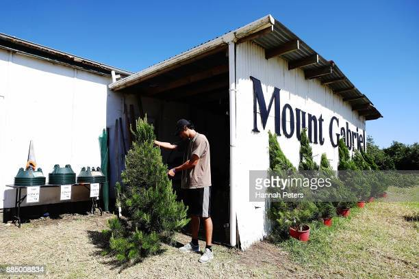 Akshay Raju inspects a Christmas tree for sale at Mount Gabriel farm on December 4 2017 in Auckland New Zealand Mount Gabriel Christmas Tree Farm...