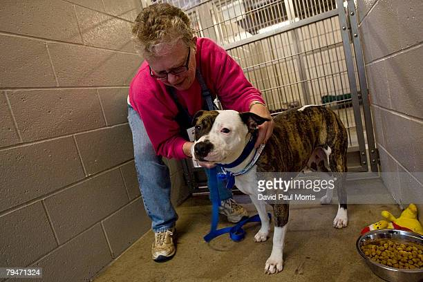 Akuti, a 1-year old American Staffordshire Terrier, gets her leash put on by volunteer Joanne White at the Sacramento SPCA February 1, 2008 in...