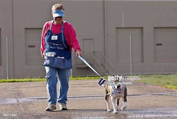 Akuti, a 1-year-old American Staffordshire Terrier, goes for a walk with volunteer Joanne White at the Sacramento SPCA February 1, 2008 in...