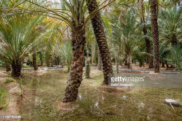 al ain oasis, al ain, u.a.e. - アブダビ アルアイン市 ストックフォトと画像