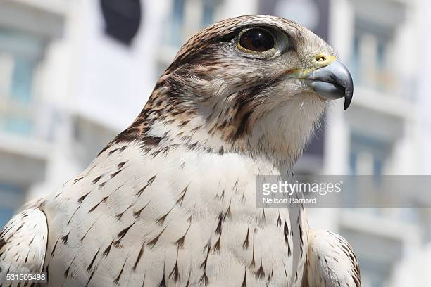 Aladdin the Saker Falcon watches over the Martinez Hotel on May 12 2016 in Cannes France Garfield Big Foot and Aladdin are among the hawks and...