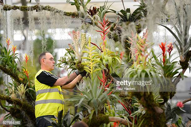 Alan Billington works on a display of Bromeliads on the 'Every Picture Tells a Story' stand as he prepares for the opening of the Chelsea Flower...