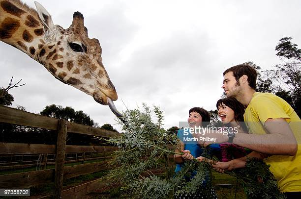 Alana Skyring Patience Hodgson and John Patterson of The Grates pose for a group portrait feeding a giraffe at Werribee Open Plain Zoo on 30th...