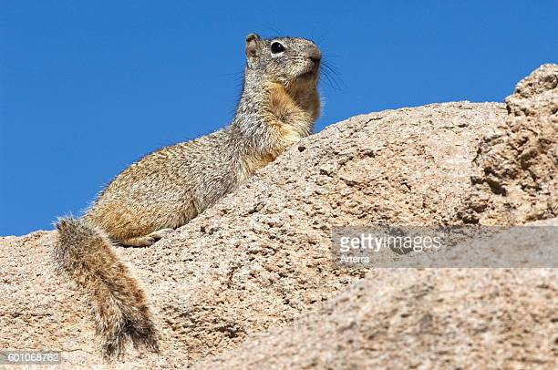 Alarmed rock squirrel on the lookout native to Mexico and the southwestern United States