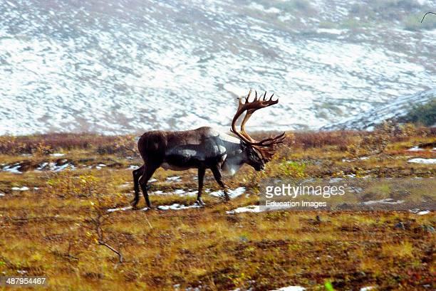 Alaska Arctic National Wildlife Refuge ANWR Bull Caribou