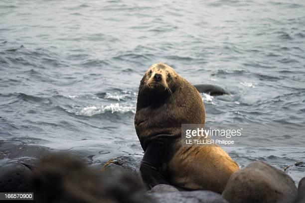 Alaska Aux EtatsUnis dans l'Alaska en septembre 1969 lors d'un reportage dans l'Etat un phoque mâle au bord de l'eau