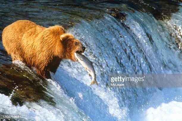 Alaska Brown Bear Catching Salmon Brooks Falls Katmai Park Alaska
