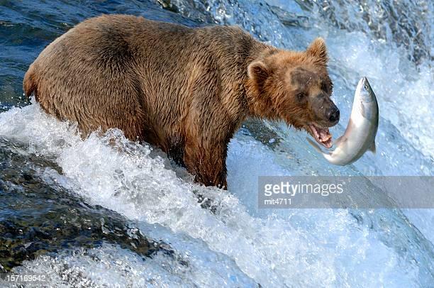 Alaska Brown Bear Catching Salmon